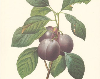 Botanical Print Purple Plums, Prunes,   Wall Decor by Pierre Redoute..