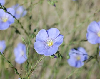 Blue Flax Seeds