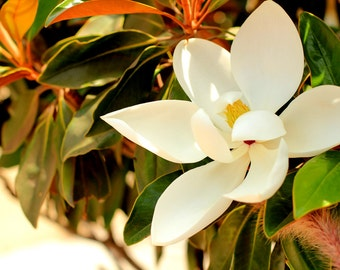 Magnolia Flower - Nature Photography -  Photo Print - Size 8x10, 5x7, or 4x6