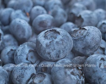 Bluecrop Blueberry Plants - 9-16 Inch Tall Potted Plants - State Inspected