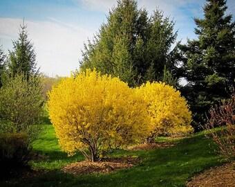 2 xLynwood Gold Forsythia shrub 3 feet tall
