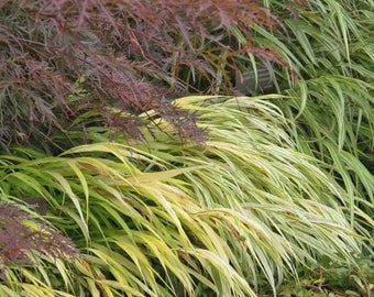 10 All Gold Japanese Forest Grass - HAKONECHLOA macra Ornamental Grasses -  Ten Live Rooted Perennial Plants