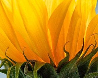 Sunflower Photography,  Sunflower Decor,  Floral  Art Print, Yellow Wall Art, Rustic Decor