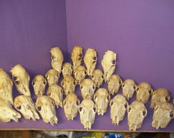 2 real animal weird doe white tail deer skulls skeleton specimen taxidermy bone part