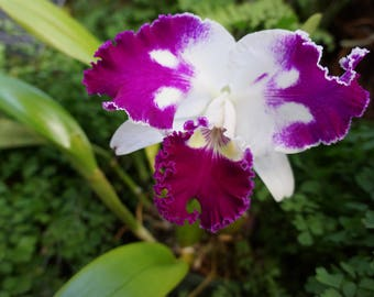 Purple and White Orchid Photo