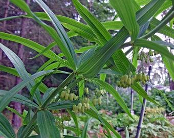 10  Seeds Polygonatum verticillatum Seeds, Whorled Solomons seal Seeds