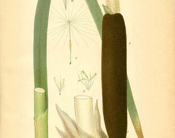BROADLEAF CATTAIL - Botanical book plate 493