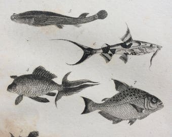 1822 Original Antique Matted Fish Engraving - Flying Fish, Golden Carp, Rhombar Salmon, Polypterus, Platystacus Chaca - Marine Wall Decor