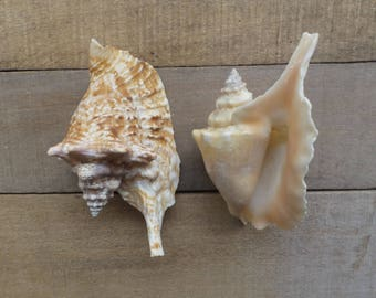 "4"" - 5"" Rooster Conch, 2 Pieces"