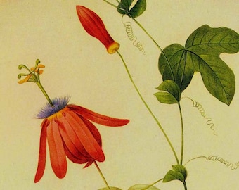 Passiflora Alata Passion Flower Vintage Poster Illustration Wildflower Lithograph Redoute Botanical Print To Frame 66