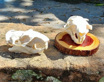 Groundhog Skull/Animal Skull/Real Skull/ (skull only)