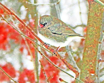 Snow Bird 4x6 Dark-eyed Junco Winter Wildlife Animal Nature Photography, Painterly