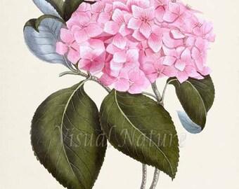 Bigleaf Hydrangea Flower Art Print, Botanical Art Print, Flower Wall Art, Flower Print, Floral Print, Home Decor, pink flower art print