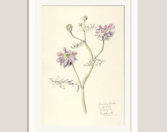 "Flower drawing Blue Vetches #1- pencil and watercolor drawing - ORIGINAL botanical art (8 x 11"") Floral still life by Catalina S.A"