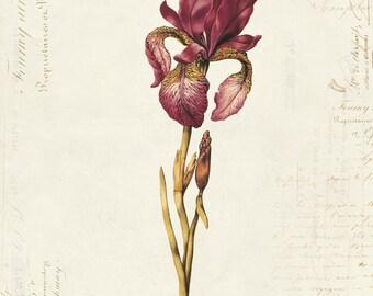 Vintage Botanical Iris on French Ephemera Print 8x10 P16