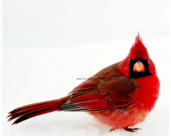 Cheese - Ruby red and snow white red and snow white nursery Red and White Winter red Valentine day gift Cardinal In Snow Fine Art Print