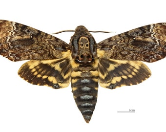 Real Death Head Hawk Moth, Acherontia lachesis, spread for your project or unmounted