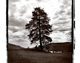 10 x 13 Print Special Solitary Tree Tall Evergreen Against a Cloudy Stormy Sky Fine Art Print in Black and White