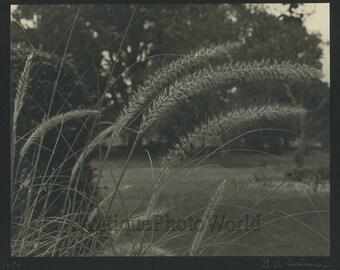 Grass stalks vintage photo by Eisenman