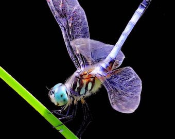 Shimmering Dragonfly, nature, insect, art, wildlife,