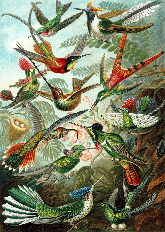 Ernst Haeckel Botanical Print   Hummingbird Home Decor Wall Decor Giclee  Art Print Poster A4 A3 A2 Large Print FLAT RATE SHIPPING