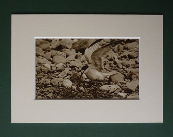 Original 1920s Print Of A Lesser Tern - Nest - Eggs - Beach Bird - Matted - Ornithology - Black & White - Photograph - Antique - Sepia