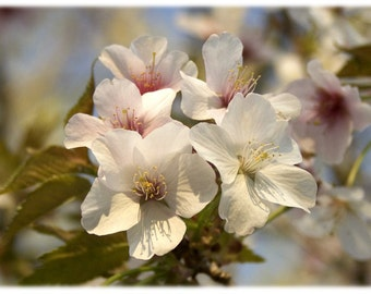 Pale Pink Crabapple Blossoms Photograph - North Carolina Nature, Floral, Garden Home Decor Fine Art Print or Note Card Set