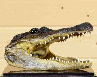 "10"" Well Preserved Alligator Head Taxidermy - SW4229"