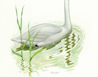 Vintage lithograph of the whooper swan from 1956