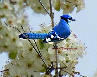 Blue jay Bird Spring Flower Farmhouse Art Country Home Decor Matted Picture A682