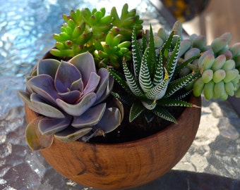 Velvety Violet Succulent in wooden container for Mother's day - May 13th