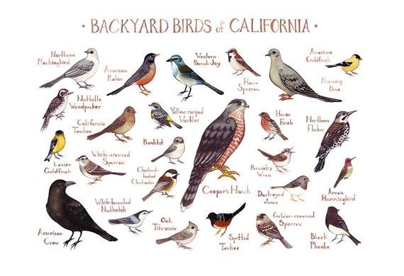 California Backyard Birds Field Guide Art Print / Watercolor