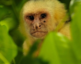 Grumpy Monkey - Wildlife Photography, Capunchin, White Faced Monkey