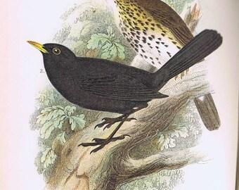 antique print Song thrush black bird 1897