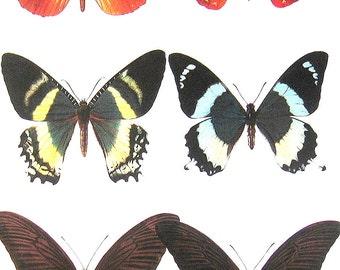 Butterflies Print - Indo-Australian Butterflies -  1985 Butterfly Book Page - World Butterflies Book - 12 x 8 - 210