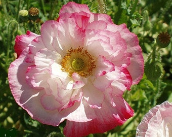Pink Shirley Poppy, 1000 bulk seeds, Papaver rhoeas, annual in all zones, easy to grow, sow in spring or fall, your own pink meadow