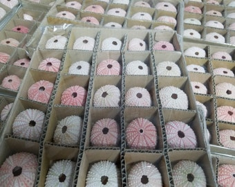 Wholesale Pink Sea Urchin, Pink Sea Urchins, Dried Sea Urchins, Craft Sea Urchins, Urchin, Pink Urchin Animal, Urchin, Sea Urchin