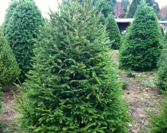 2 Live Norway Spruce trees! 1 to  2 feet tall. Christmas tree, landscape, live plant, evergreen tree