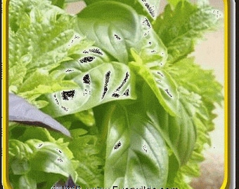 Basil- Clove scented- 50 Seeds