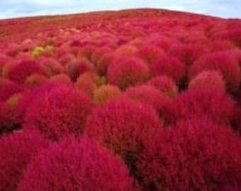 Burning Bush 50 Seeds, Kochia tricopphylla