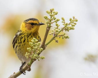 Florida Springtime Beauty - Cape May Warbler on a budding branch in April - Wildlife and Nature photography and Wall Art - songbird