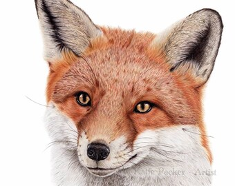 Curious Fox Drawing, Fine Art Prints