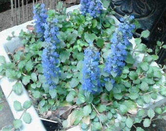 Bronze Beauty Ajuga-Perennial-Bugleweed-Easy to Grow-Fast Growing-Evergreen Plants-Living Plants-Blooming Groundcover-Erosion Control