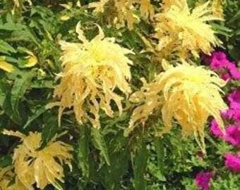 Amaranthus Aurora Yellow, Summer Poinsettia 50 Seeds
