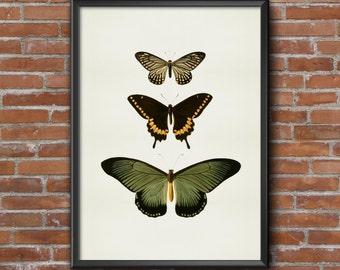 Old vintage Illustrations of insects-three butterflies