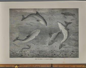 Feeding the Porpoises at the Brighton Aquarium 1874. Turtle, Eel, and fish. Large Antique Engraving.