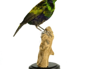 Mounted emerald starling
