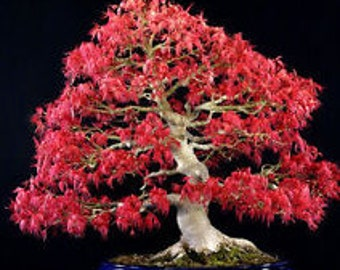 20 fresh Seeds Northern Sugar Acer Japanese Maple Tree for  bonsai