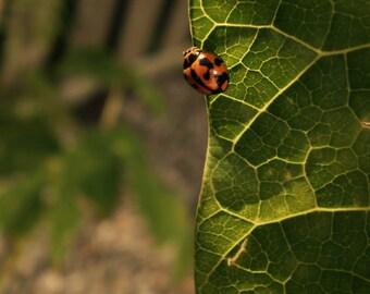 Orange Ladybug Photo, Nature Wall Art, Fine Art Photography // Macro, Insect Photo, Nursery Photo Art - 5x5/8x8/8x10/8x12 - Matte Finish