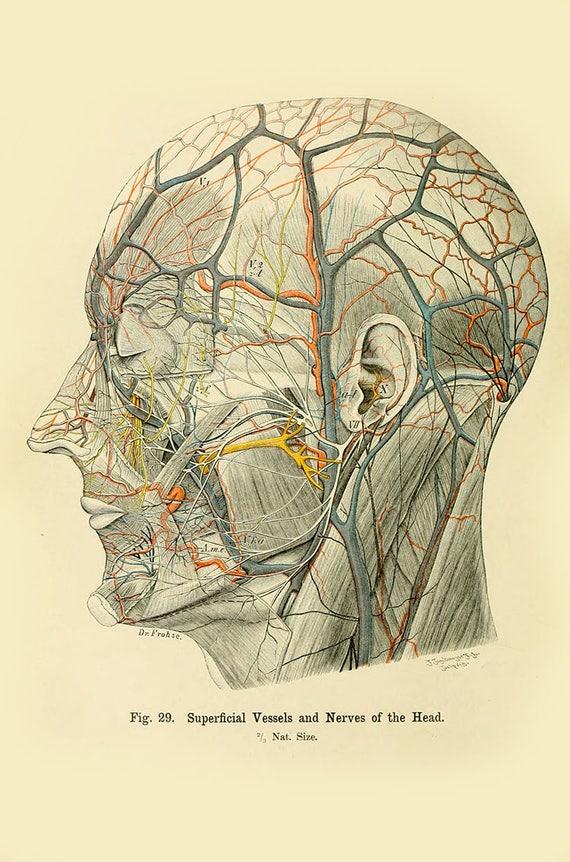 Human anatomy vintage print human head anatomy haeckel human ccuart Gallery
